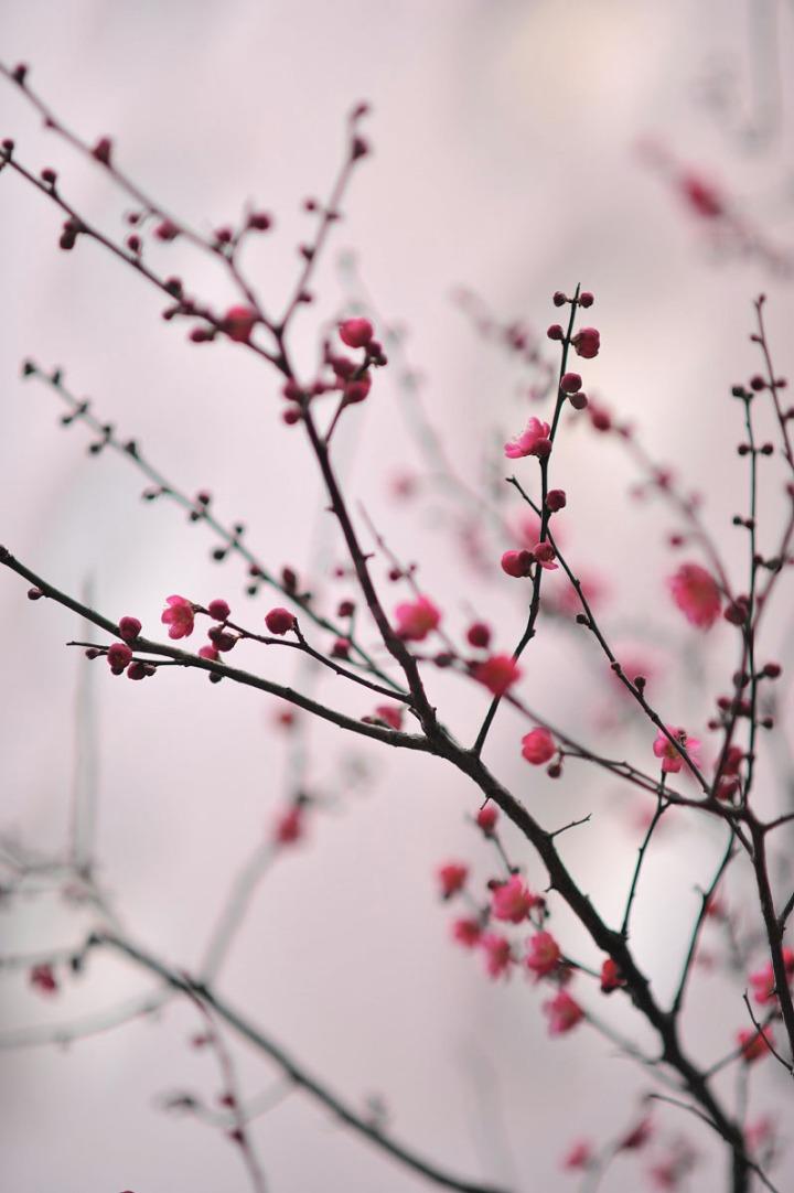 plum_blossom_umenohana_4240