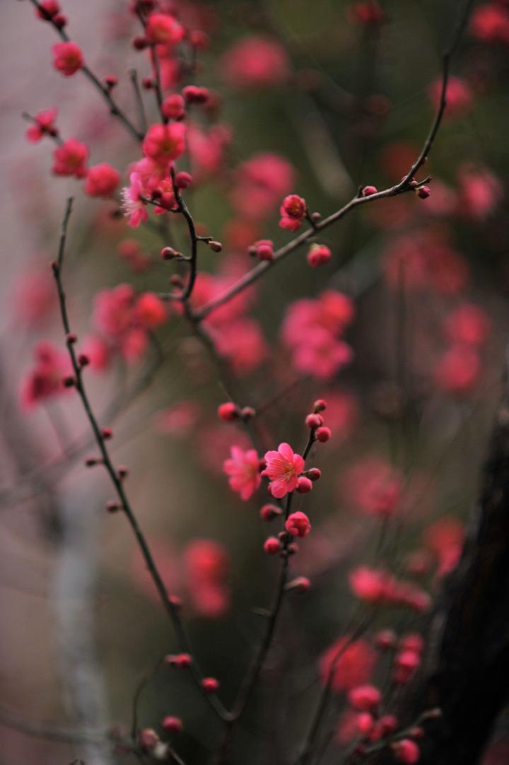 plum_blossom_umenohana_4245