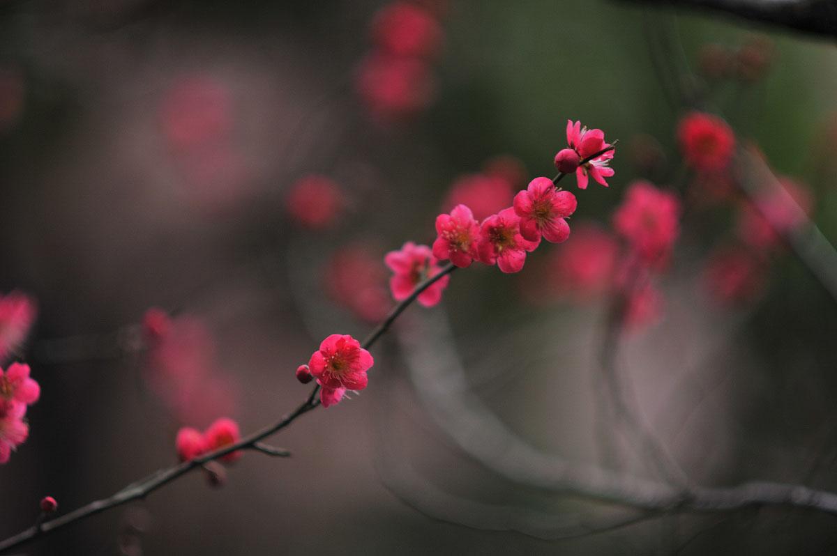 umenohana  u2013 plum blossoms