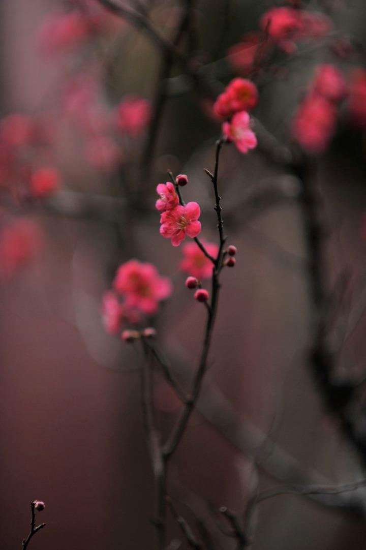 plum_blossom_umenohana_4250