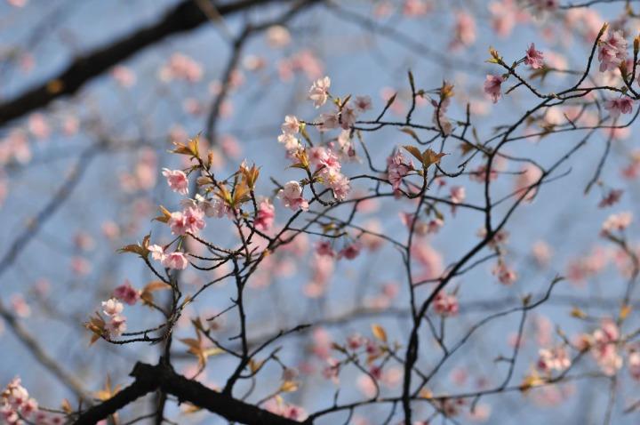 yasukuni_shrine_cherry_blossoms_countdown_1761