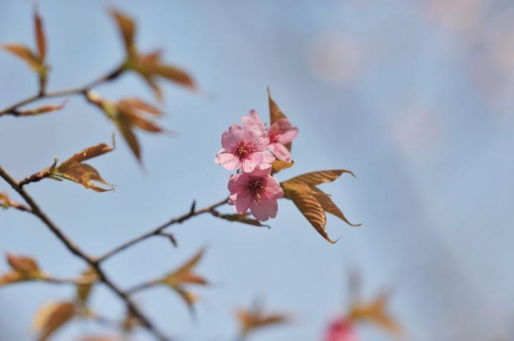 yasukuni_shrine_cherry_blossoms_countdown_1763