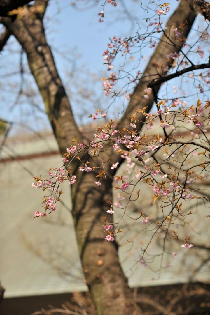yasukuni_shrine_cherry_blossoms_countdown_1773