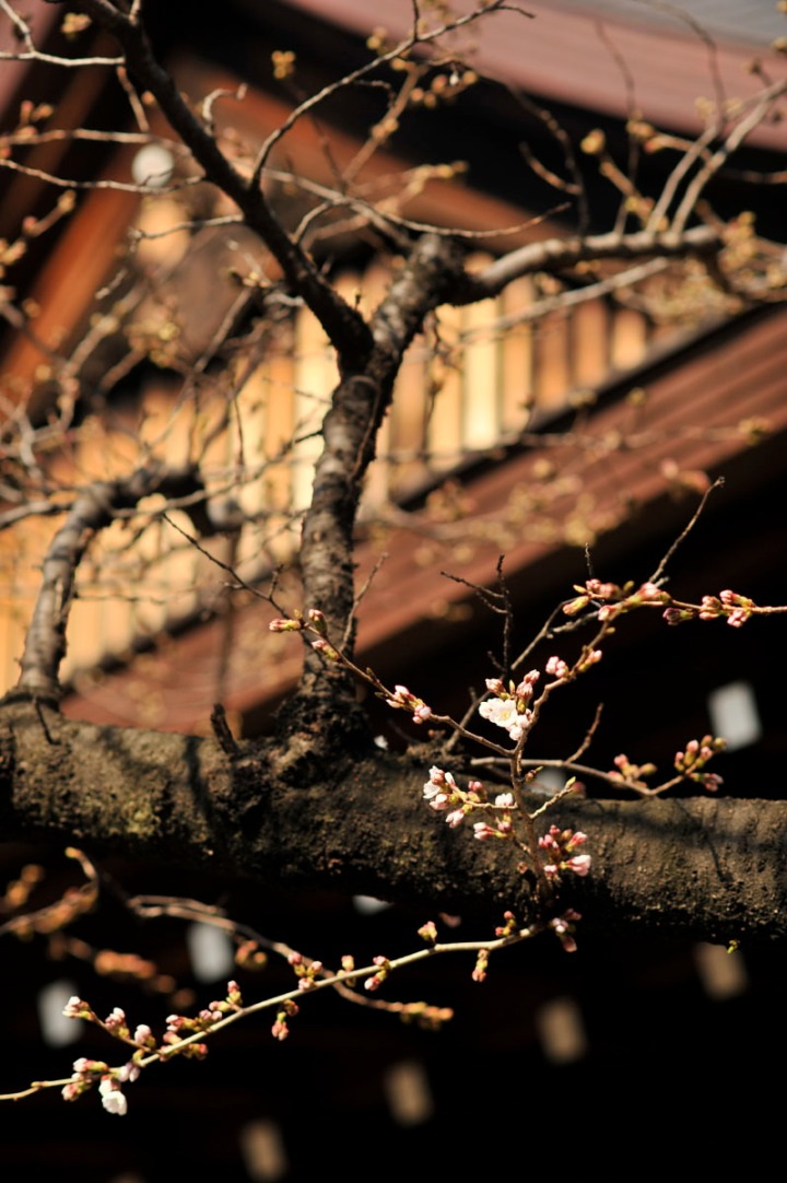 yasukuni_shrine_cherry_blossoms_countdown_1784
