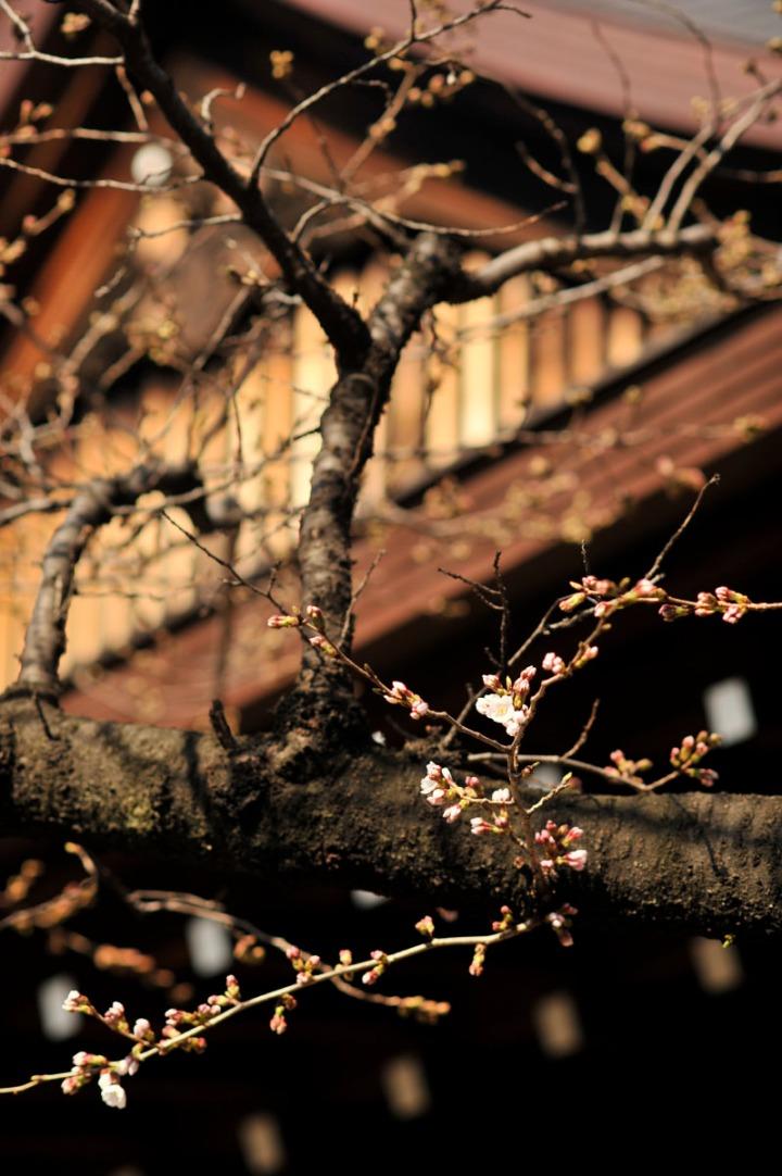 yasukuni_shrine_cherry_blossoms_countdown_1784