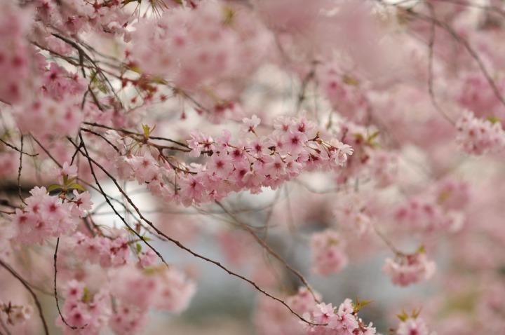 takashima_castle_suwa_cherryblossom_4530