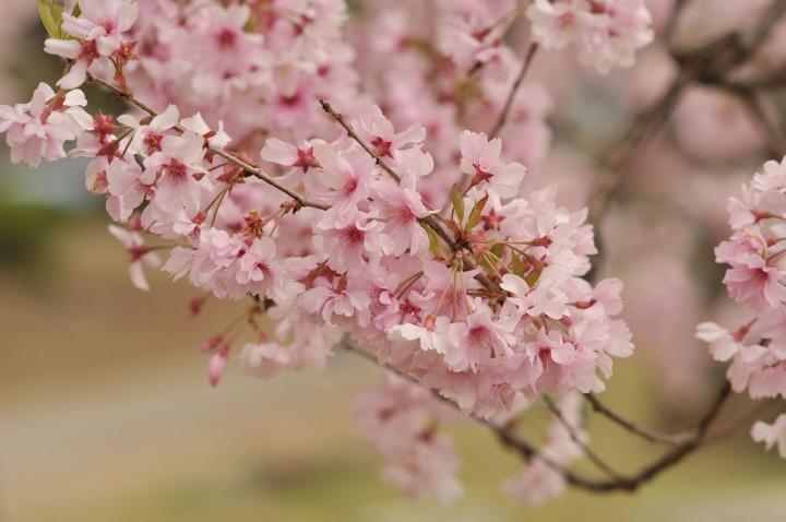 takashima_castle_suwa_cherryblossom_4569