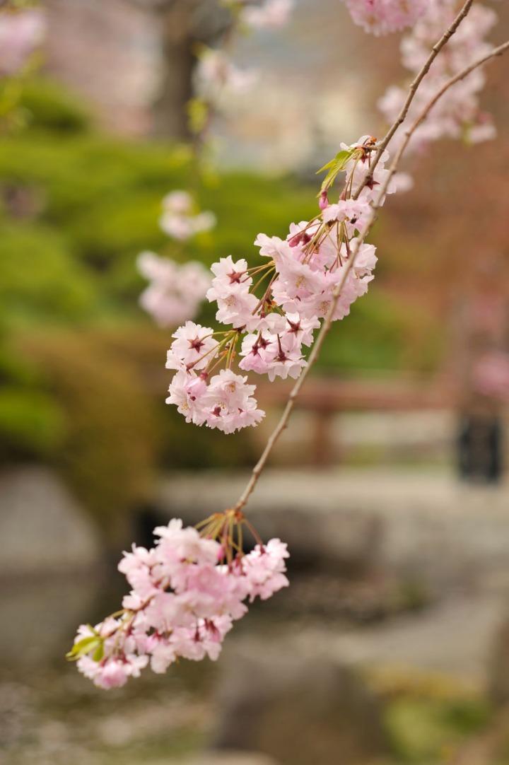 takashima_castle_suwa_cherryblossom_4658