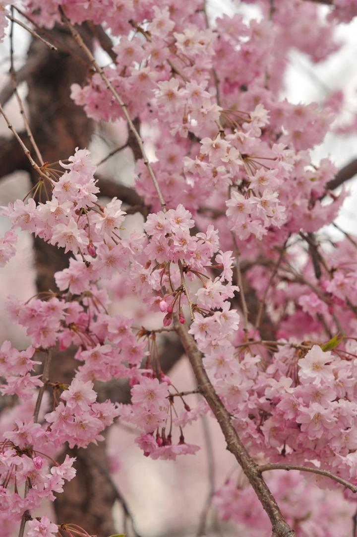 takashima_castle_suwa_cherryblossom_4660