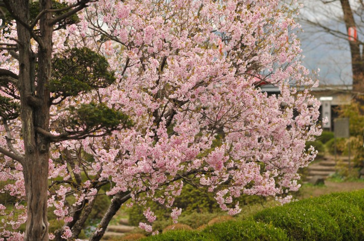 takashima_castle_suwa_cherryblossom_4679