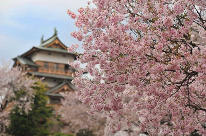 takashima_castle_suwa_cherryblossom_4790