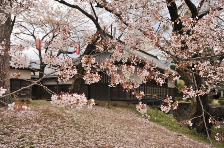takashima_castle_suwa_cherryblossom_4914