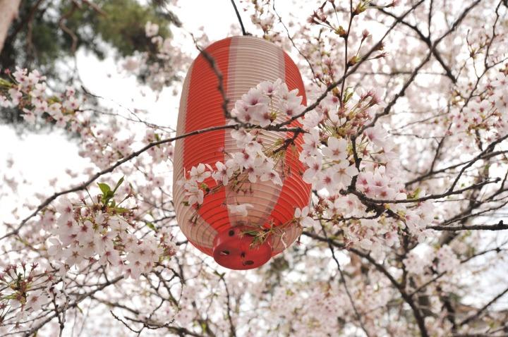 takashima_castle_suwa_cherryblossom_4927