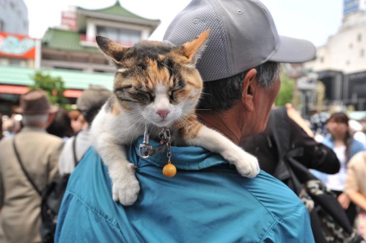 sanja_matsuri_cat_4097