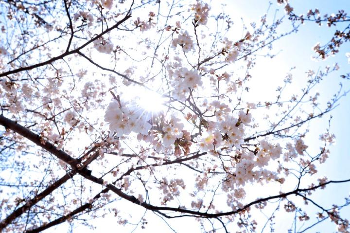 yokohama_cherryblossoms_8489