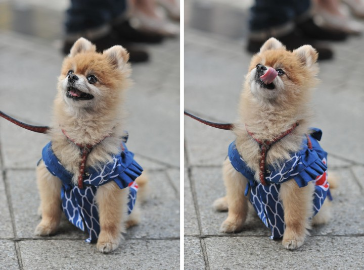 festival_dog_sanjamatsuri_3926