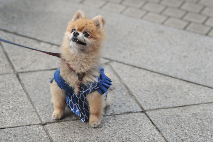 festival_dog_sanjamatsuri_3929