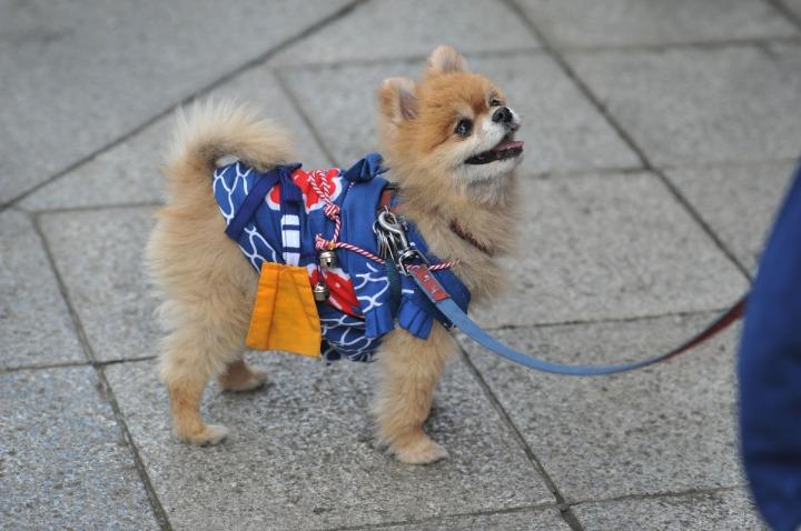 festival_dog_sanjamatsuri_3943