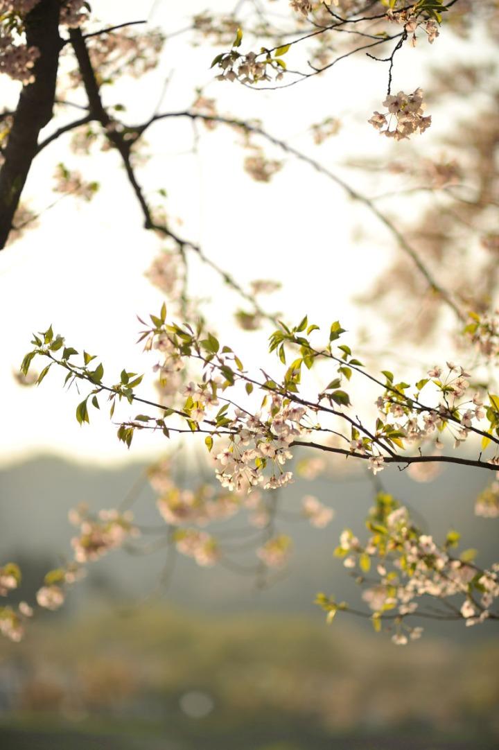 kakunodate_cherryblossoms_sakura_2931