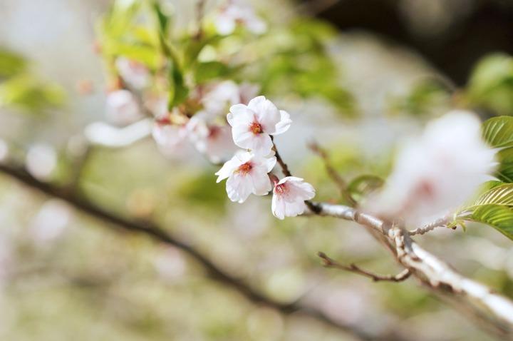 kakunodate_sakura_cherry_blossoms_2725