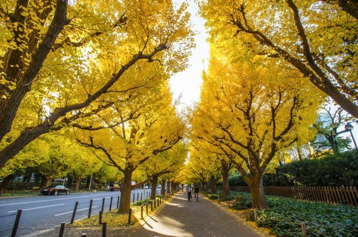 gingko_tree_meiji_jingu_gaien_7693