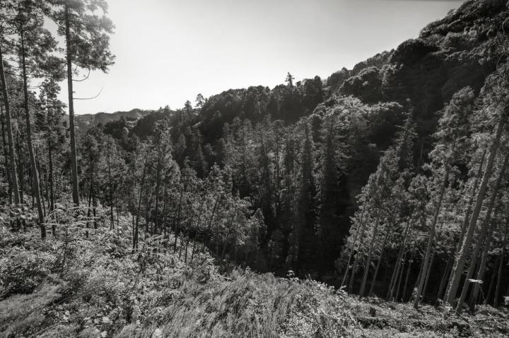 takaosan_pines_8415