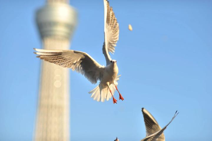 gulls_sumida_river_7532