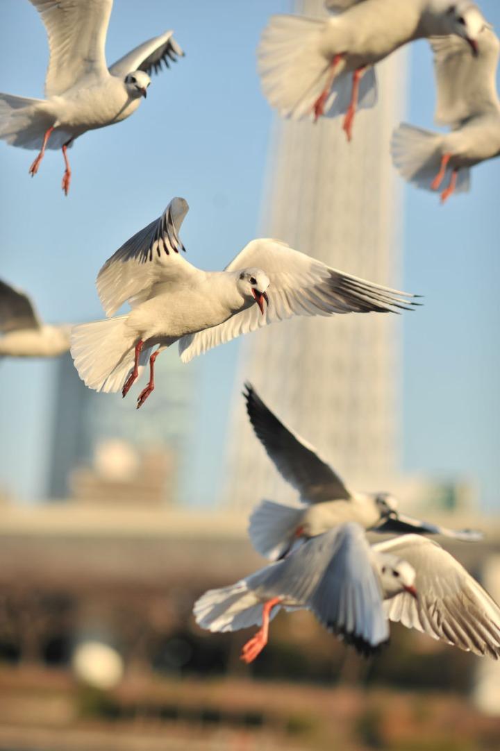 gulls_sumida_river_7577