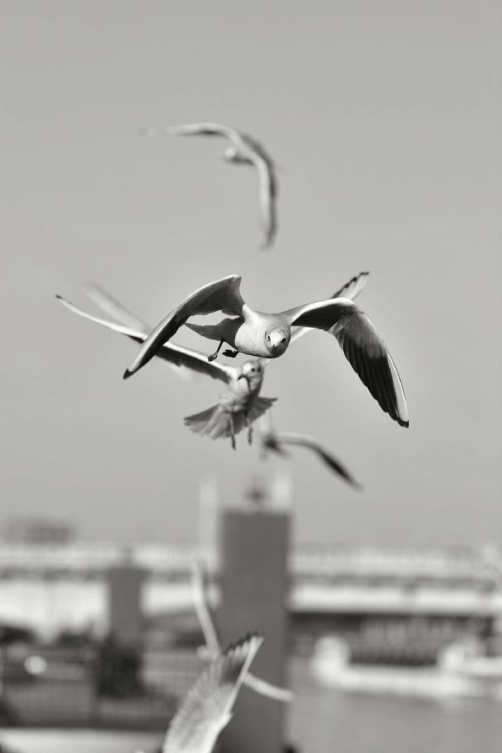 gulls_sumida_river_7643