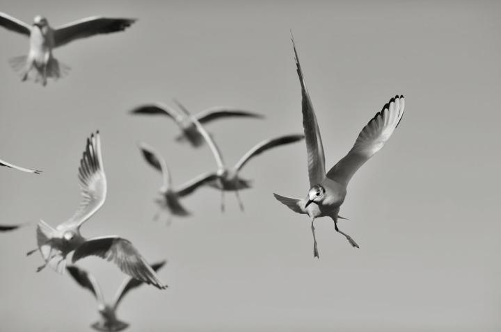 gulls_sumida_river_7666