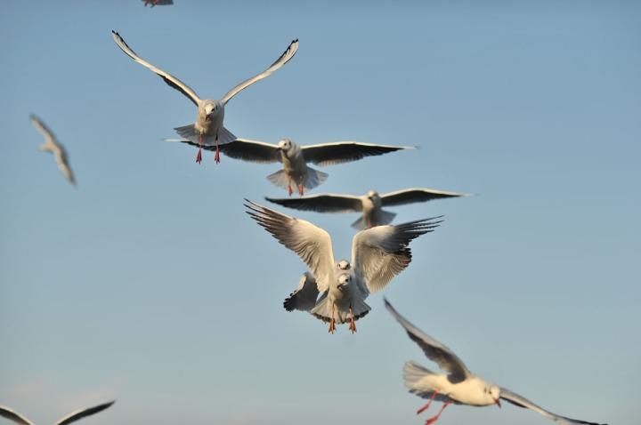 gulls_sumida_river_7669