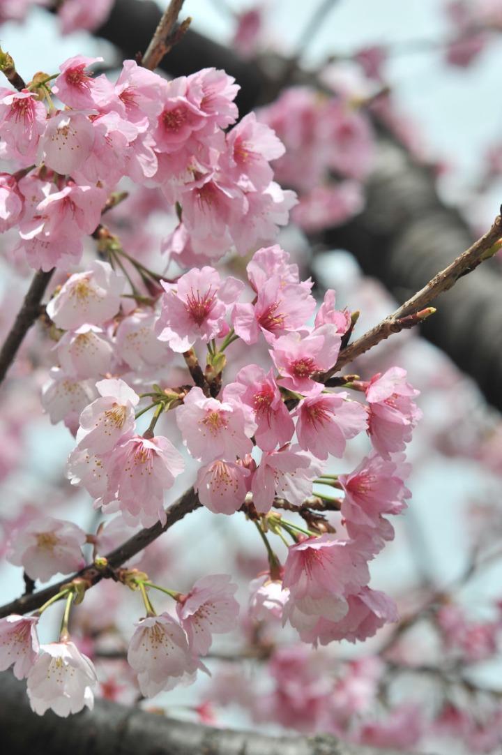 hibiya_park_spring_8125
