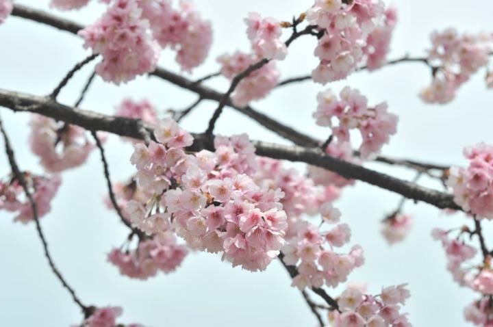 hibiya_park_spring_8138