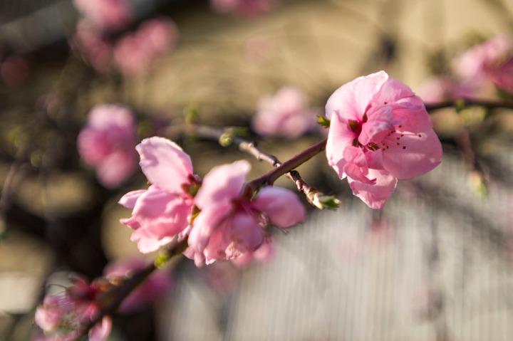 kawagoe_harumatsuri_2014_1250