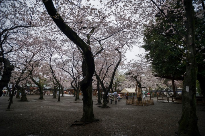 yasukuni_shrine_cherry_blossoms_2014_1303