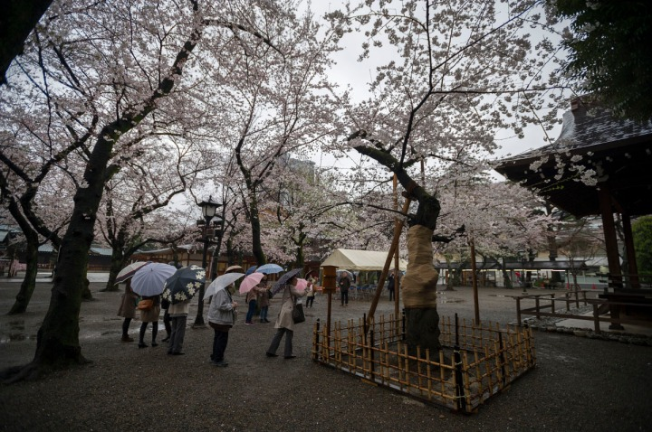 yasukuni_shrine_cherry_blossoms_2014_1304