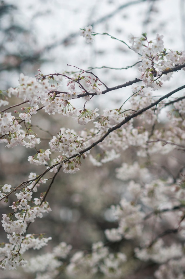 yasukuni_shrine_cherry_blossoms_2014_1306