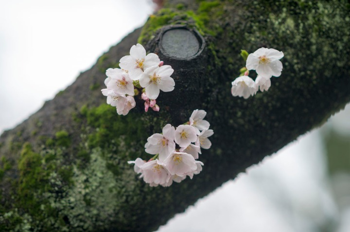 yasukuni_shrine_cherry_blossoms_2014_1337