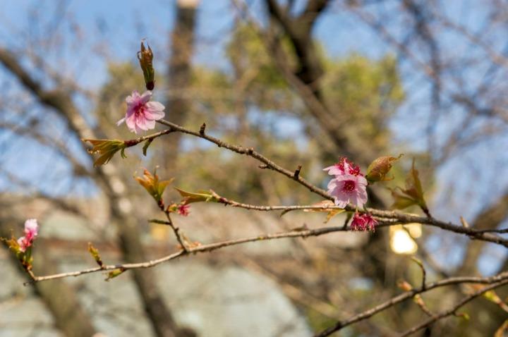 yasukuni_shrine_sakura_8928