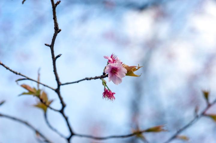 yasukuni_shrine_sakura_8932