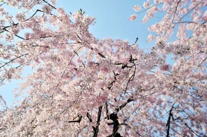 tokyo_sakura_1393