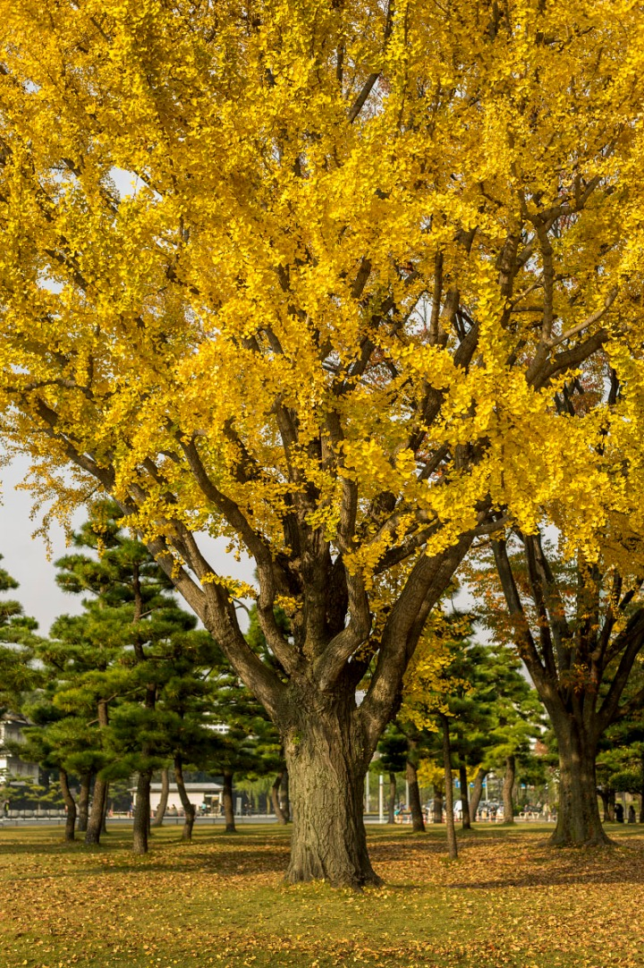 imperial_palace_park_autumn_colors_6684