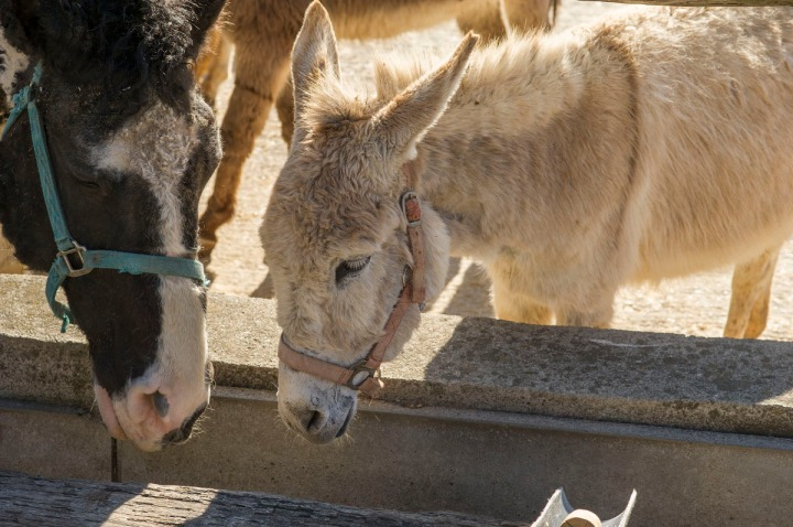 tochigi_donkeys_1656