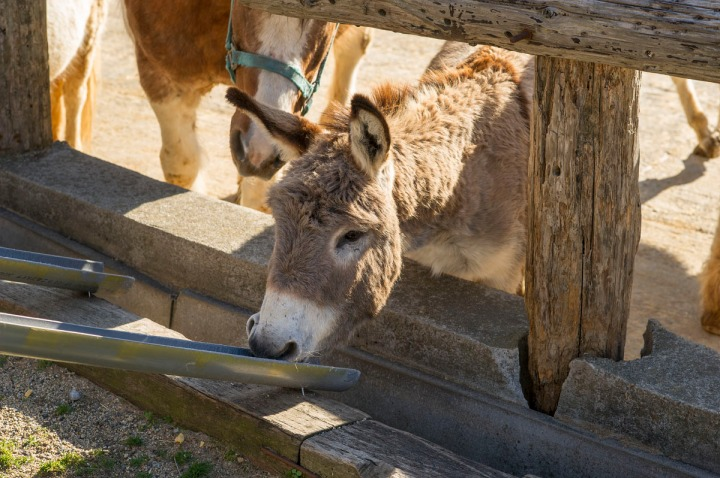 tochigi_donkeys_1658