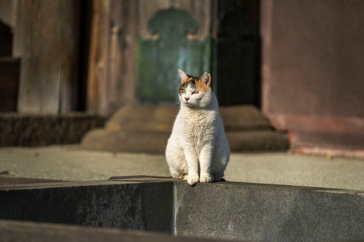 gokokuji_temple_cats_4830